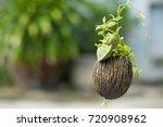 asclepiadaceae  dischidia... | Shutterstock . vector #720908962