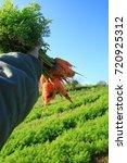 pick up carrots | Shutterstock . vector #720925312