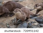oriental small clawed otter ... | Shutterstock . vector #720951142