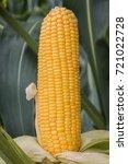 corn growing in field plant... | Shutterstock . vector #721022728