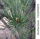 Small photo of Abstract close up photo of an incipient pinyon tree pine cone; Tonto National Forest in Arizona