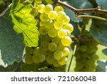Bunches Of Chardonnay Grapes...