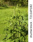 Small photo of Agastache nepetoides 'Green Candles' in a autumn garden