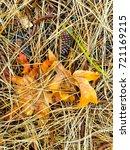 fallen golden pine needles on a ... | Shutterstock . vector #721169215