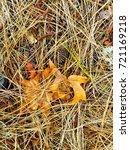 fallen golden pine needles on a ... | Shutterstock . vector #721169218