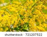 solidago gigantea   goldenrod ... | Shutterstock . vector #721207522