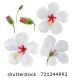 White Hibiscus Flower Isolated...