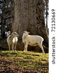 Small photo of Katahdin Sheep by large Oak tree on family farm, Webster County, West Virginia, USA