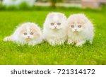 Stock photo group of a highland fold kittens on green summer grass 721314172