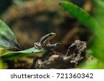 tricolor poison dart frog...   Shutterstock . vector #721360342