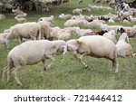 two big sheep with woolen veil... | Shutterstock . vector #721446412