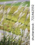 susuki japanese pampas grass...   Shutterstock . vector #721462552