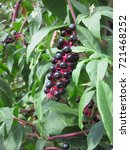 Small photo of Phytolacca Americana. Bunch of pokeberry. Black berries and green leaves.