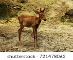 small deer is looking and... | Shutterstock . vector #721478062