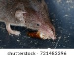 common shrew  sorex araneus  | Shutterstock . vector #721483396