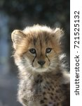 cheetah children | Shutterstock . vector #721525132