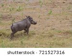 common warthog  phacochoerus... | Shutterstock . vector #721527316