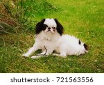 japanese chin puppy in the park | Shutterstock . vector #721563556