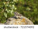 the rock wren  salpinctes... | Shutterstock . vector #721574092