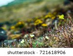 Small photo of Arctic flowers, plant association in cold desert. Exotic Arctic poppy and alpine foxtail Alopecurus alpinus on background of flourishing plot of tundra in short polar summer. FJL, 81 N.