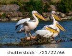 pelican or pink pelican in... | Shutterstock . vector #721722766