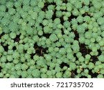 Small photo of Rhodiola pachyclados is a genus of perennial plants in the family Crassulaceae.