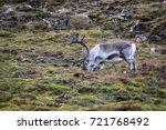 svalbard reindeer  rangifer... | Shutterstock . vector #721768492