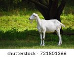 beautiful white goat on pasture | Shutterstock . vector #721801366