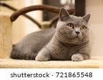 british cat looking around | Shutterstock . vector #721865548