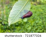 Arion ater   type of slugs from ...