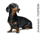 A Dog  Puppy  Of The Dachshund...