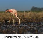 flamingos  patagonia argentina   Shutterstock . vector #721898236