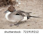 northern pintail  anas acuta .... | Shutterstock . vector #721919212