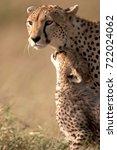 serengeti cheetah and cub | Shutterstock . vector #722024062