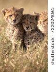 serengeti cheetah cubs | Shutterstock . vector #722024065