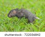 malayan porcupine  himalayan... | Shutterstock . vector #722036842