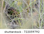 Small photo of Florida cottonmouth (Agkistrodon piscivorus)