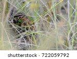 Small photo of Florida cottonmouth (Agkistrodon piscivorus)
