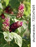 close up of phytolacca acinosa... | Shutterstock . vector #722147605