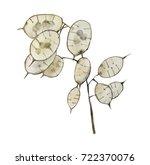 Watercolor Lunaria Anual