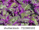 Small photo of detail shot of some green Gynura leaves with violet fluff