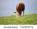 Grazing Cow At The Scenic Coas...