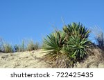 Yucca Plants Growing On A Sand...