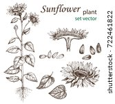 sketch of a sunflower plant in... | Shutterstock .eps vector #722461822