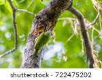 Small photo of backside of Coppersmith bird on tree