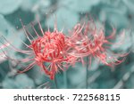 lycorisradiata flowers | Shutterstock . vector #722568115