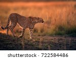 Small photo of Cheetah during dusk in Savannah grassland, Masai Mara