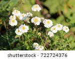 Small photo of White flowers of sneezewort (Achillea ptarmica) on flowerbed