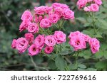 Stock photo tiny pink roses in a greenhouse 722769616