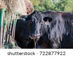 black angus cow looking at the... | Shutterstock . vector #722877922